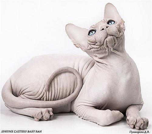 кот породы канадский сфинкс производитесь питомника Baby-Rah.
