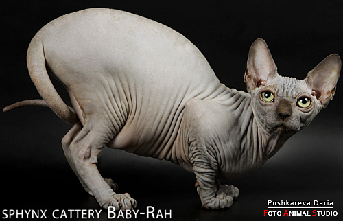 Питомник канадских сфинксов Baby Rah. канадский сфинкс. египетские кошки...